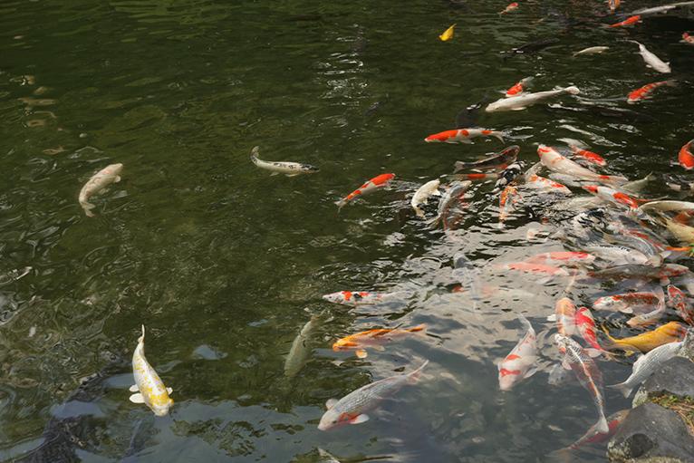 南湖の吹上亭前では、鯉が悠々と泳いでいる。
