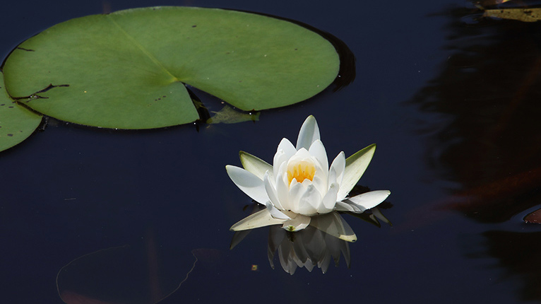 トンボ自然公園のハスの池